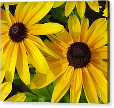 Black-eyed Susans Close Up Acrylic Print by Suzanne Gaff