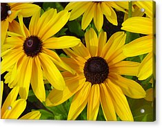 Black Eyed Susans Acrylic Print by Suzanne Gaff