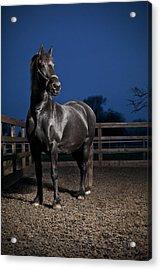 Black Fiesian Horse Acrylic Print