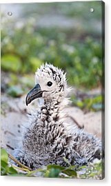 Black-footed Albatross / Phoebastria Acrylic Print