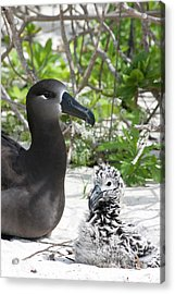 Black-footed Albatross (phoebastria Acrylic Print