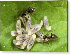 Black Garden Ants Carrying Larvae Acrylic Print by Nigel Downer