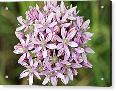 Black Garlic (allium Nigrum) In Flower Acrylic Print by Bob Gibbons