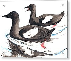 Black Guillemot Acrylic Print