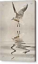Black-headed Gull  Acrylic Print