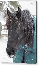 Black Horse In Snow Acrylic Print