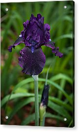 Acrylic Print featuring the photograph Black Iris by Penny Lisowski