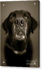 Black Lab Nose Acrylic Print by Diane Diederich