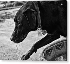 Black Lab Playing In Water Acrylic Print by Robert Durbeck