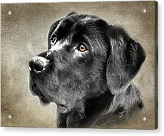 Black Lab Portrait Acrylic Print
