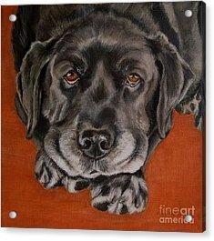 Black Labrador Rests Head Rescue Dog Acrylic Print