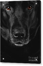 Black Labrador Retriever Acrylic Print