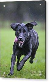 Black Labrador Running Acrylic Print by Johan De Meester