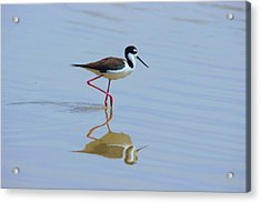 Black Necked Stilt Acrylic Print by David Rizzo