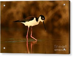 Acrylic Print featuring the photograph Black-necked Stilt Waterdrops by John F Tsumas