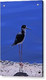 Acrylic Print featuring the photograph Black-necked Stilt by Richard Stephen