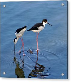 Acrylic Print featuring the photograph Black-necked Stilts by Bob and Jan Shriner