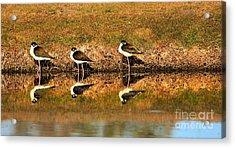 Black-necked Stilts Acrylic Print by Robert Bales