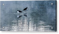 Black-necked Stilts Acrylic Print by Tam Ryan
