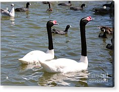Black-necked Swans Acrylic Print