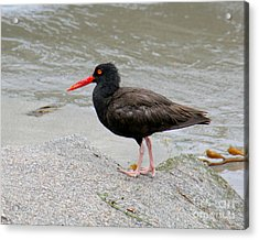 Acrylic Print featuring the photograph Black Oystercatcher-1 by Bob and Jan Shriner