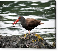 Acrylic Print featuring the photograph Black Oystercatcher With Crab by Gayle Swigart