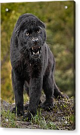 Black Panther Acrylic Print by Jerry Fornarotto