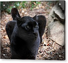 Black Panther Acrylic Print by Judy Vincent