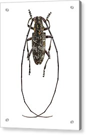 Black Pine Sawyer Beetle Acrylic Print