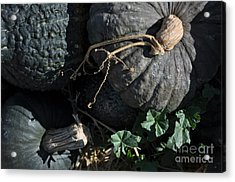 Black Pumpkins Acrylic Print by Minnie Lippiatt