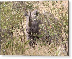 Black Rhino  Acrylic Print by Chris Scroggins