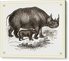 Black Rhinoceros And Young Acrylic Print by Litz Collection