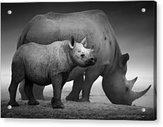 Black Rhinoceros Baby And Cow Acrylic Print by Johan Swanepoel