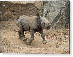 Black Rhinoceros Calf Running Acrylic Print by San Diego Zoo
