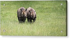 Black Rhinoceros Diceros Bicornis Michaeli In Captivity Acrylic Print by Matthew Gibson