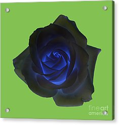 Black Rose With Vibrant Blue Petals At Centre On Green Acrylic Print by Rosemary Calvert