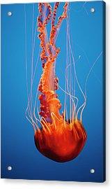 Black Sea Nettle Jellyfish Underwater Acrylic Print by Mint Images - Paul Edmondson