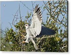 Black-shouldered Kite Acrylic Print by Science Photo Library