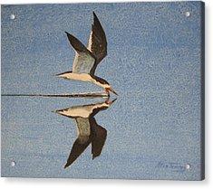Black Skimmer Acrylic Print by Stan Tenney