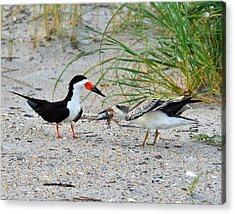 Acrylic Print featuring the photograph Black Skimmers by Dana Sohr