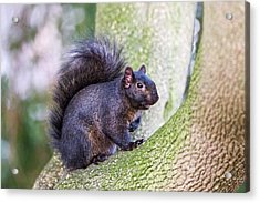 Black Squirrel In A Tree Acrylic Print by John Devries