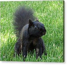 Black Squirrel Acrylic Print by J L Zarek