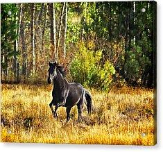Black Stallion Runs Free Acrylic Print