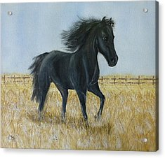 Black Stallion Trot Acrylic Print by Kelly Mills