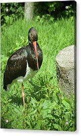 Black Stork Acrylic Print