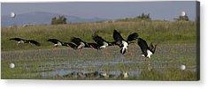Black Stork Landing. Acrylic Print
