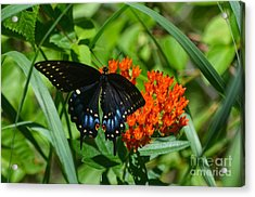 Black Swallow Tail On Beautiful Orange Wildlflower Acrylic Print by Peggy Franz