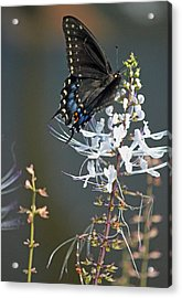 Black Swallowtail Among The Cats Whiskers Acrylic Print by Suzanne Gaff
