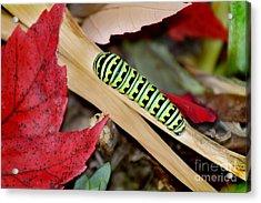 Black Swallowtail Butterfly Caterpillar Acrylic Print