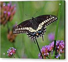 Black Swallowtail Butterfly  Acrylic Print